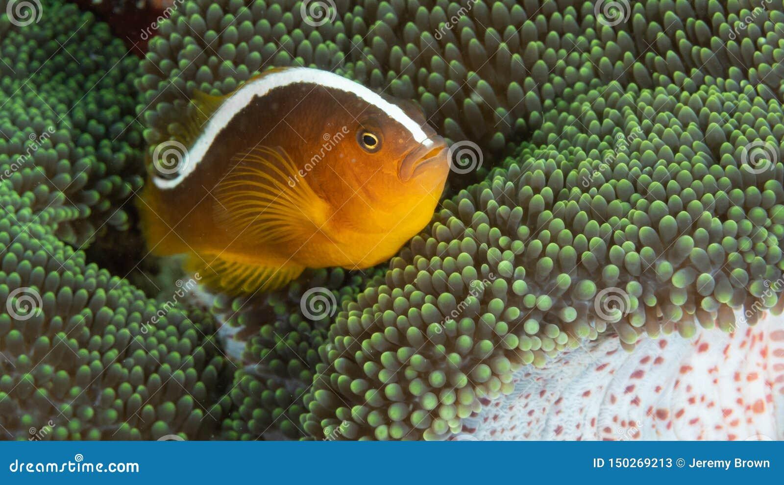 Orange Stinktier clownfish, Amphiprion sandaracinos Bangka Sporttauchen in Nord-Sulawesi, Indonesien