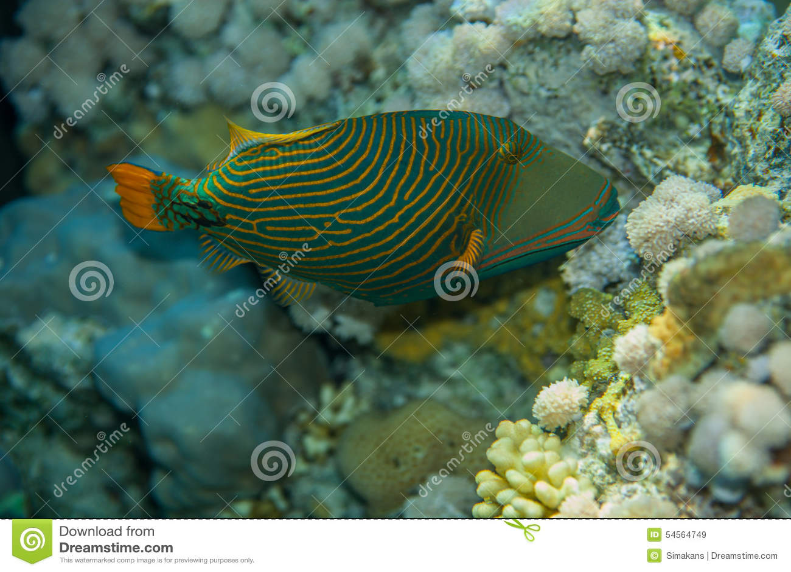 Orange-striped triggerfish