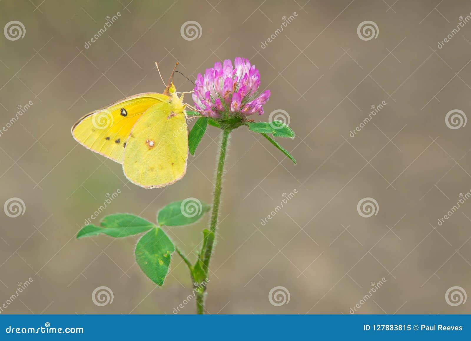 Orange Sulphur Butterfly - Colias eurytheme