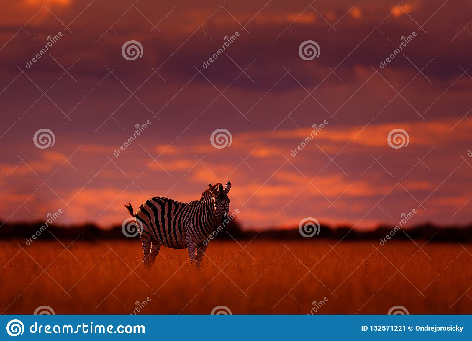 Orange sunset with zebra. Wild animal on the green meadow during sunset. Wildlife nature, beautiful evening light. Zebra with blue