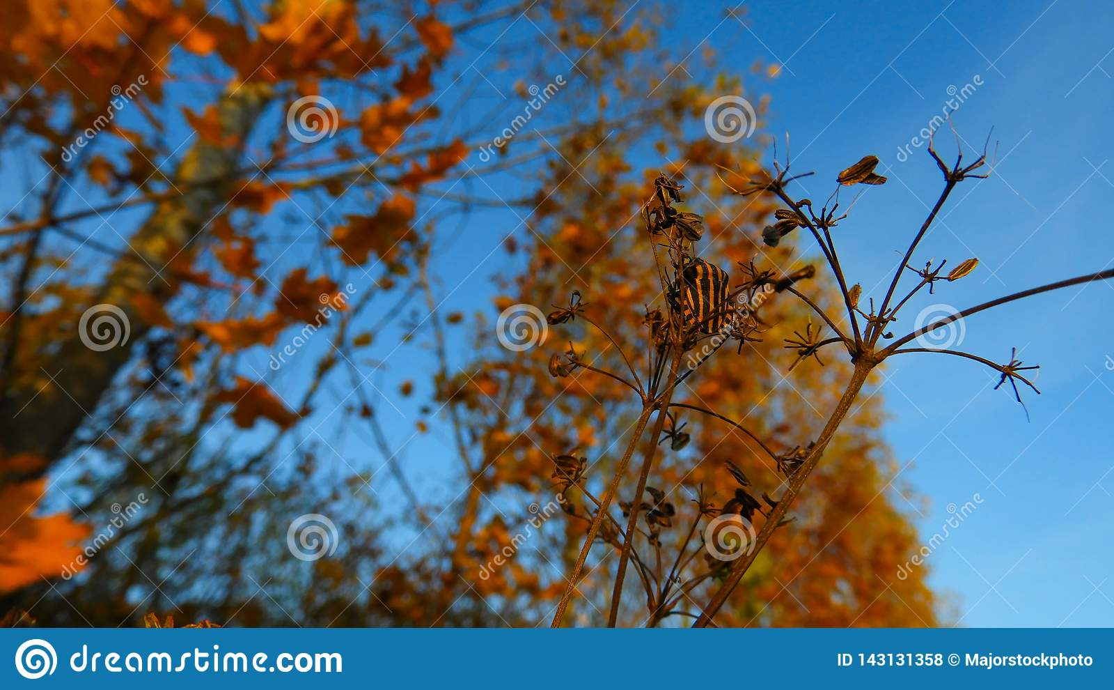 Orange svart randig skalbagge i höst på Donaukusten
