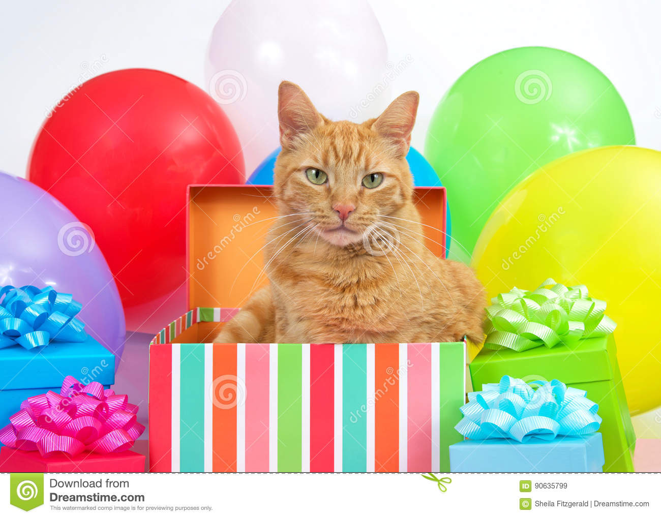 Orange Tabby Cat In A Birthday Present Surprise Party