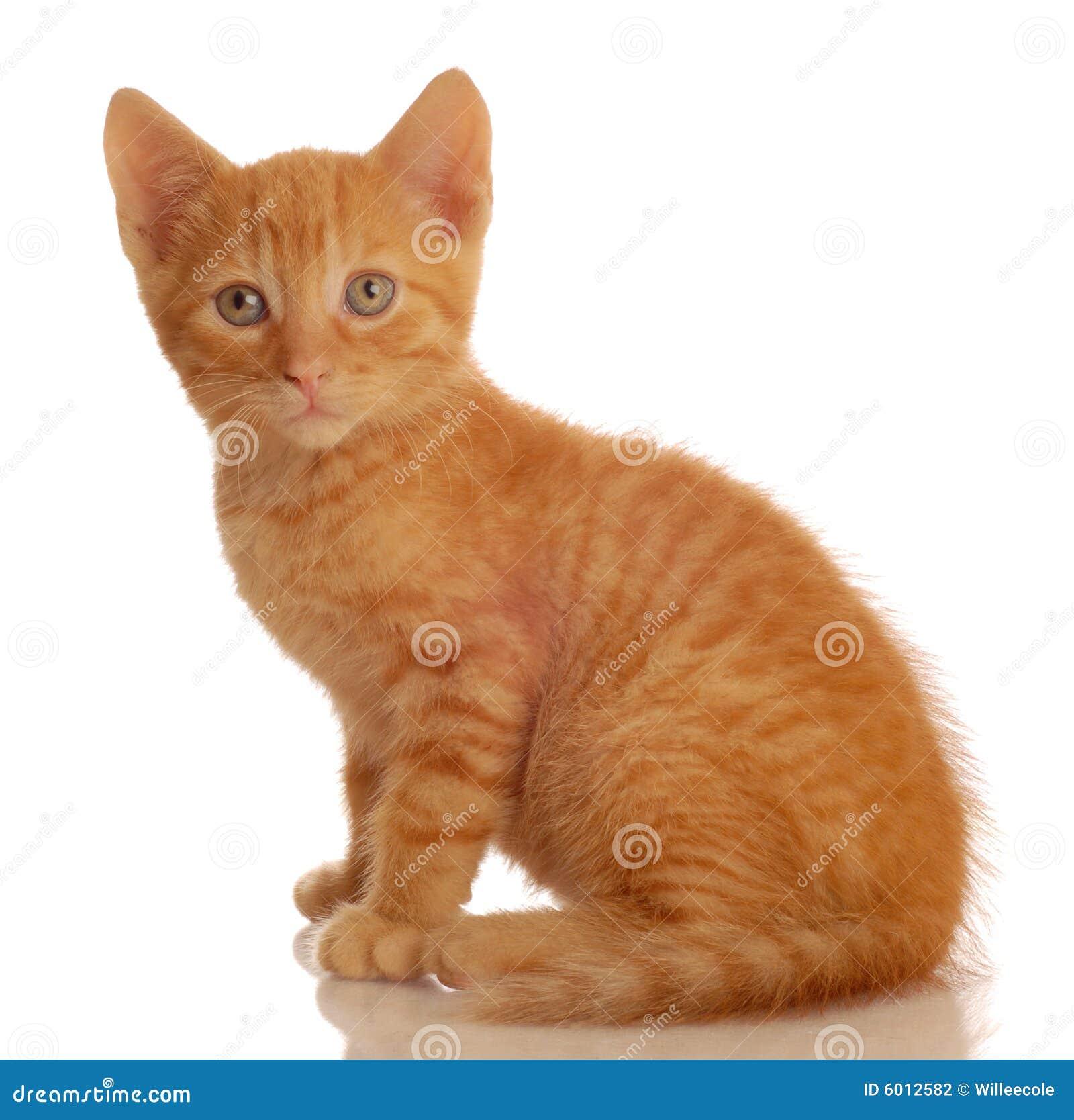 Orange Tabby Kitten Sitting Stock graphy Image