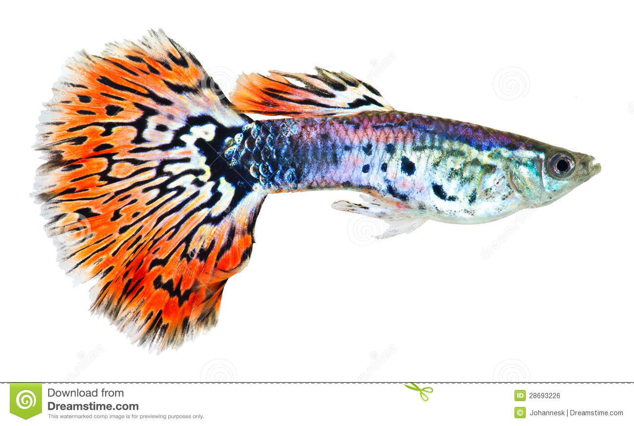 Orange tail guppy fish stock photo image of fresh for Fish and tails