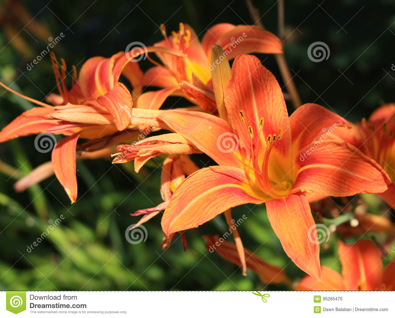 Orange tiger lilies flowers close up stock photo image of orange tiger lilies flowers close up izmirmasajfo Images