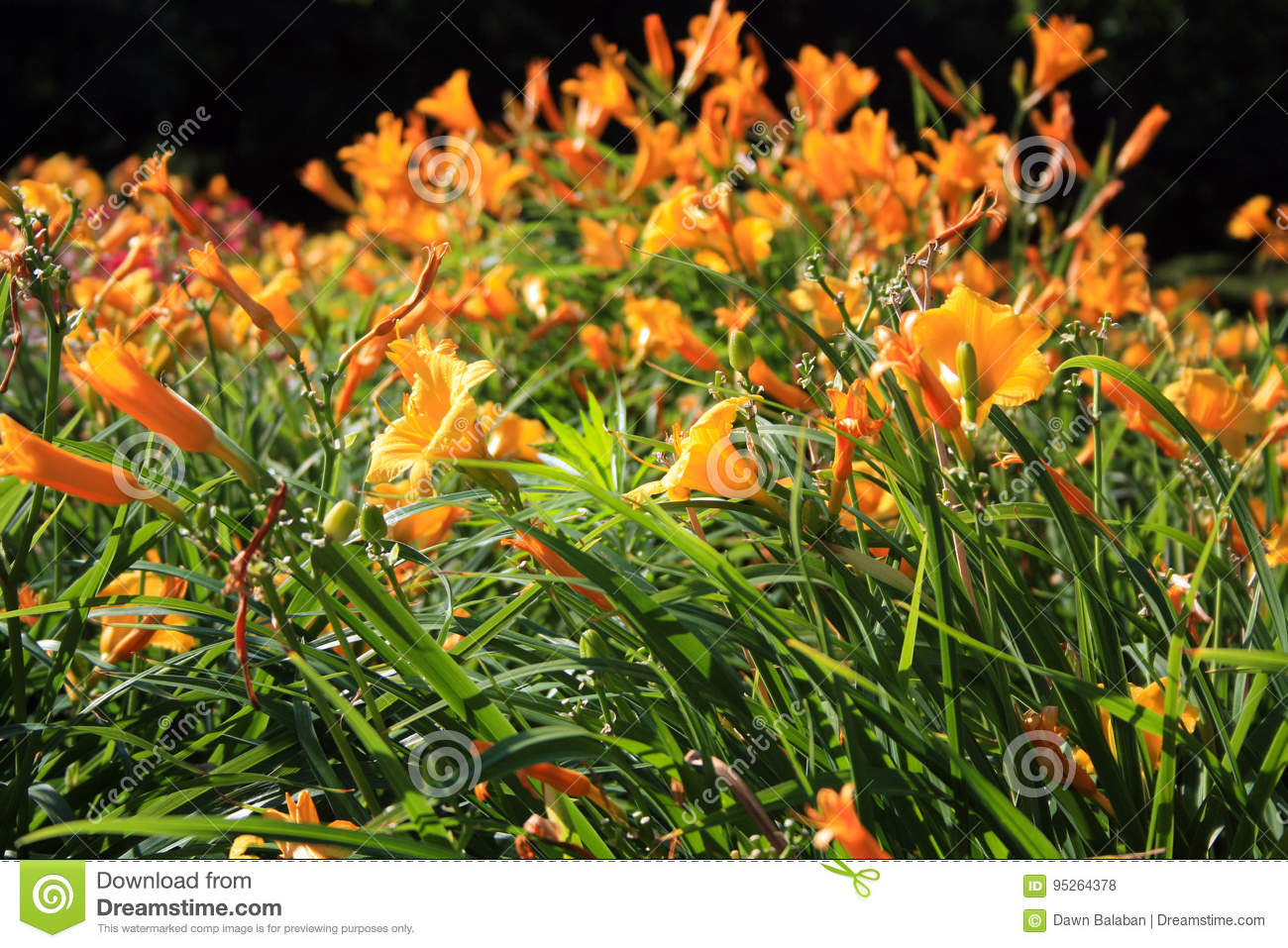 Orange Tiger Lilies Flowers In A Field Stock Photo Image Of Color