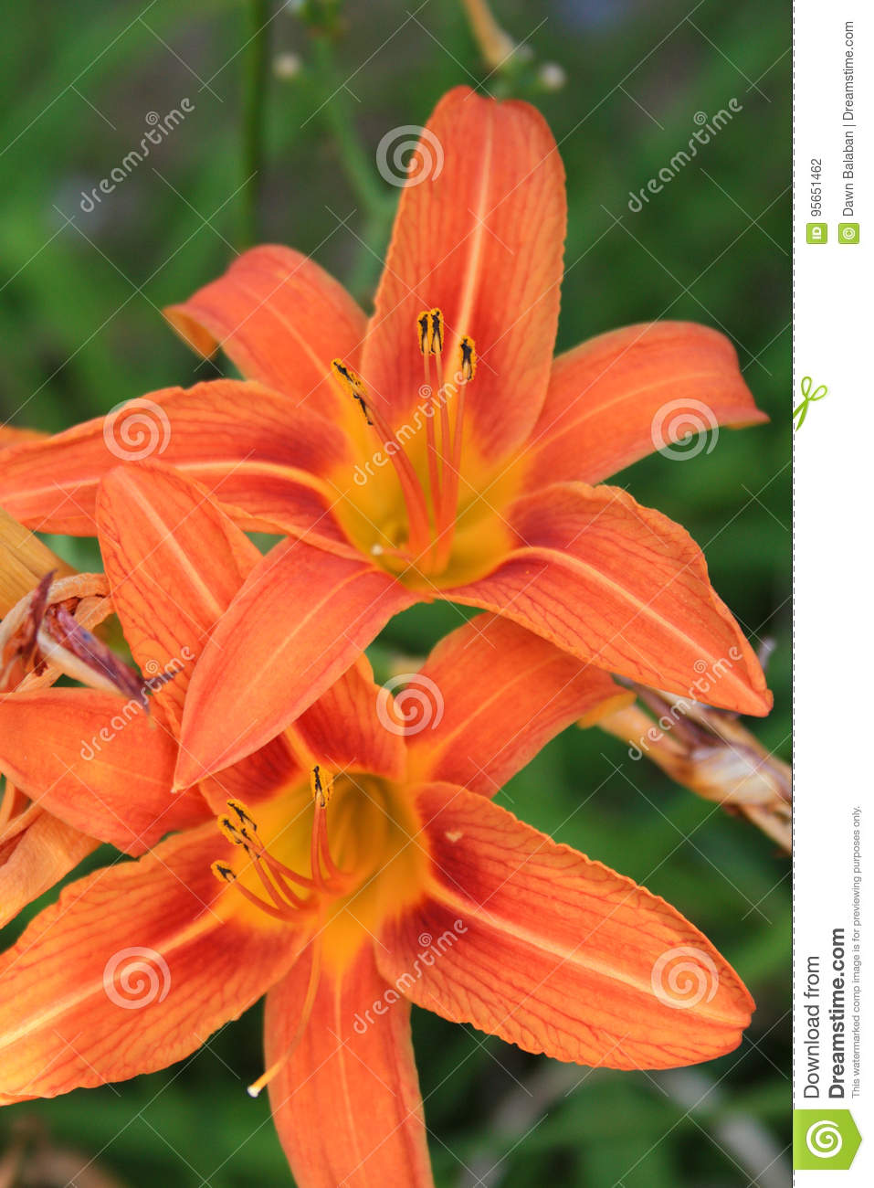 Orange tiger lilies flowers two shot close up stock photo image of orange tiger lilies flowers two shot close up izmirmasajfo Images