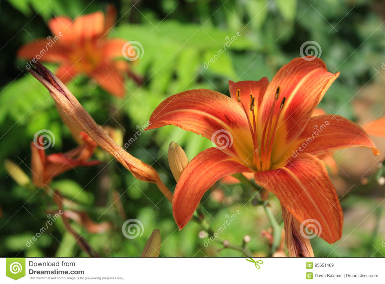 Orange tiger lilies flowers two shot close up stock image image of orange tiger lilies flowers two shot close up izmirmasajfo Images