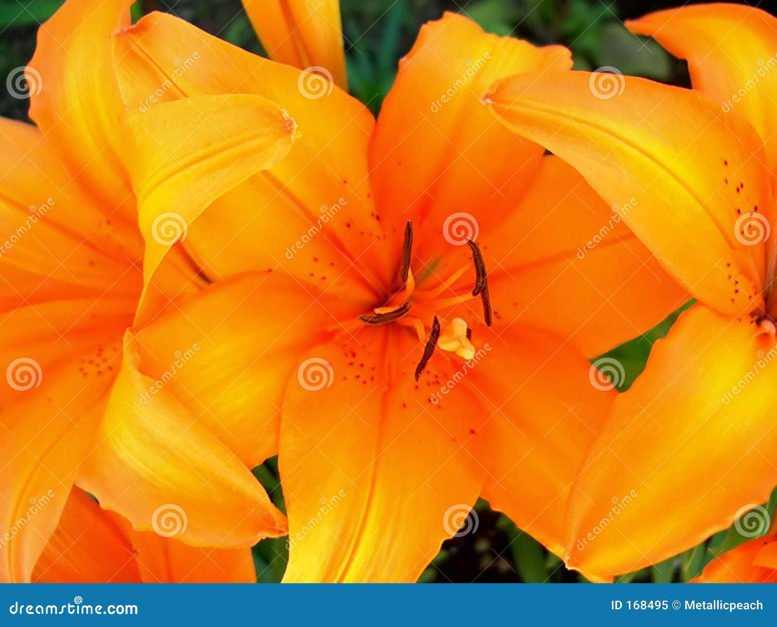 Orange Tiger Lily