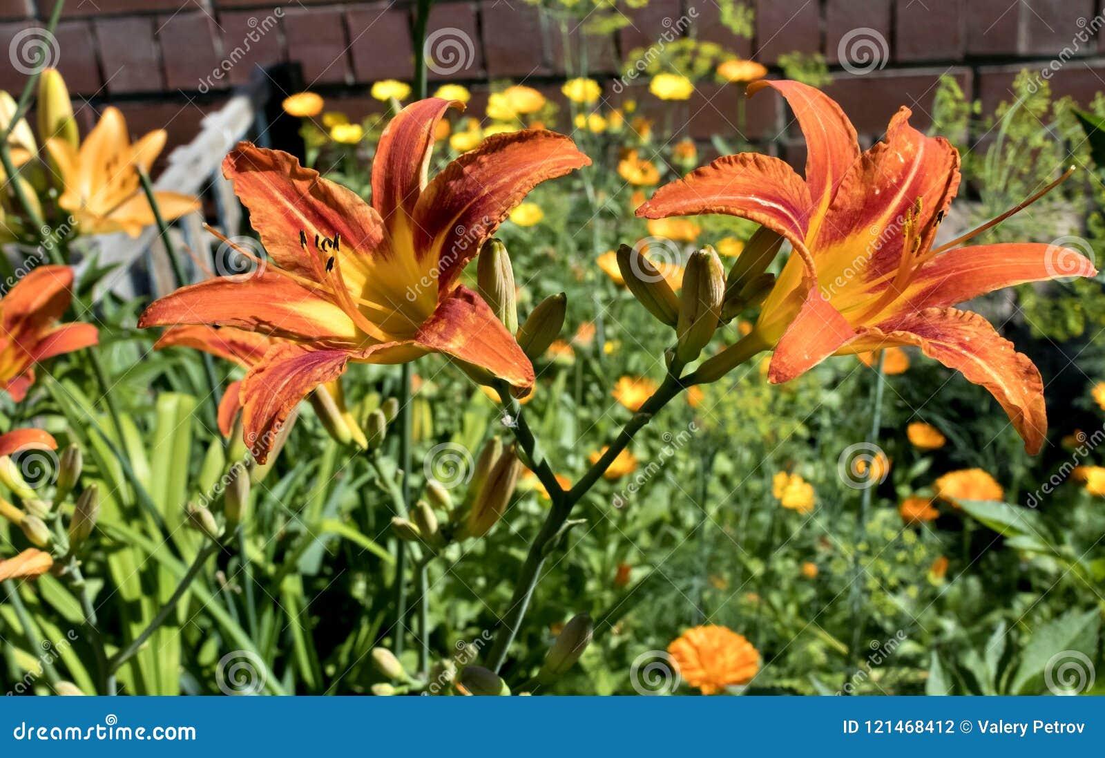 Orange tiger lily flower stock photo image of blooming 121468412 orange tiger lily flower izmirmasajfo