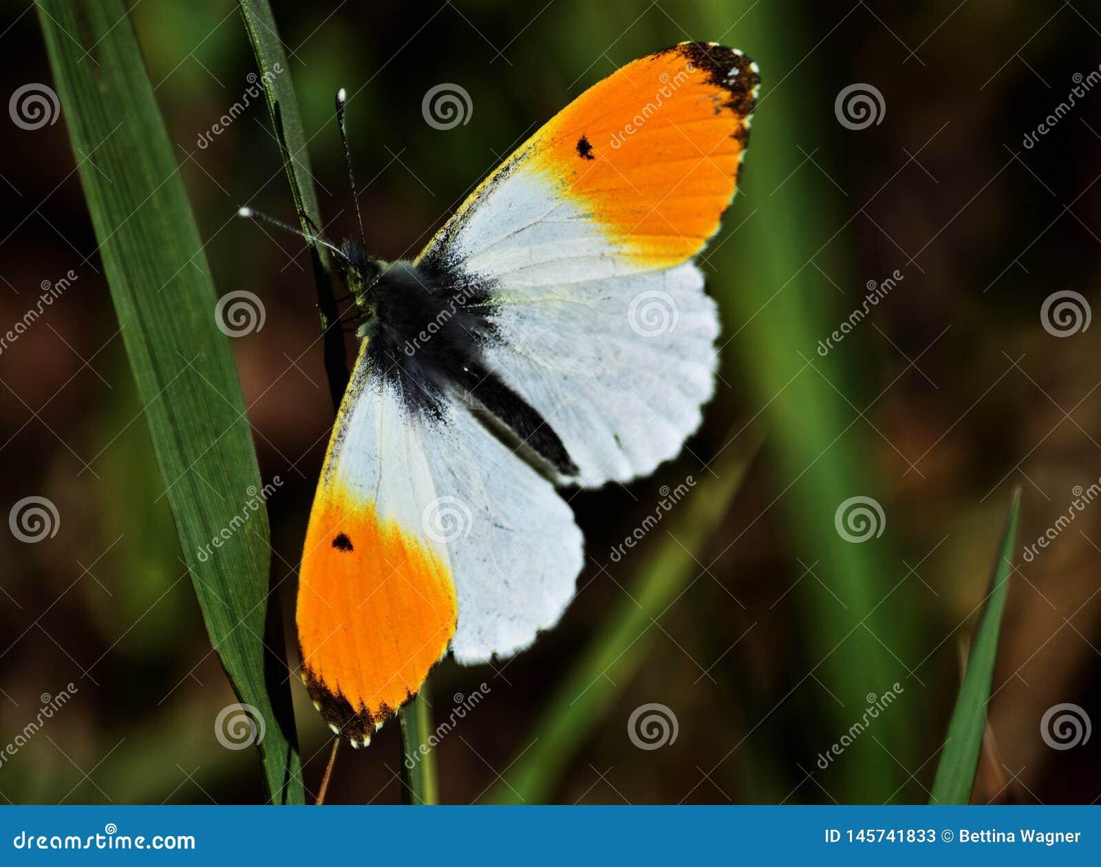 Orange tip butterfly, Anthocharis cardamines