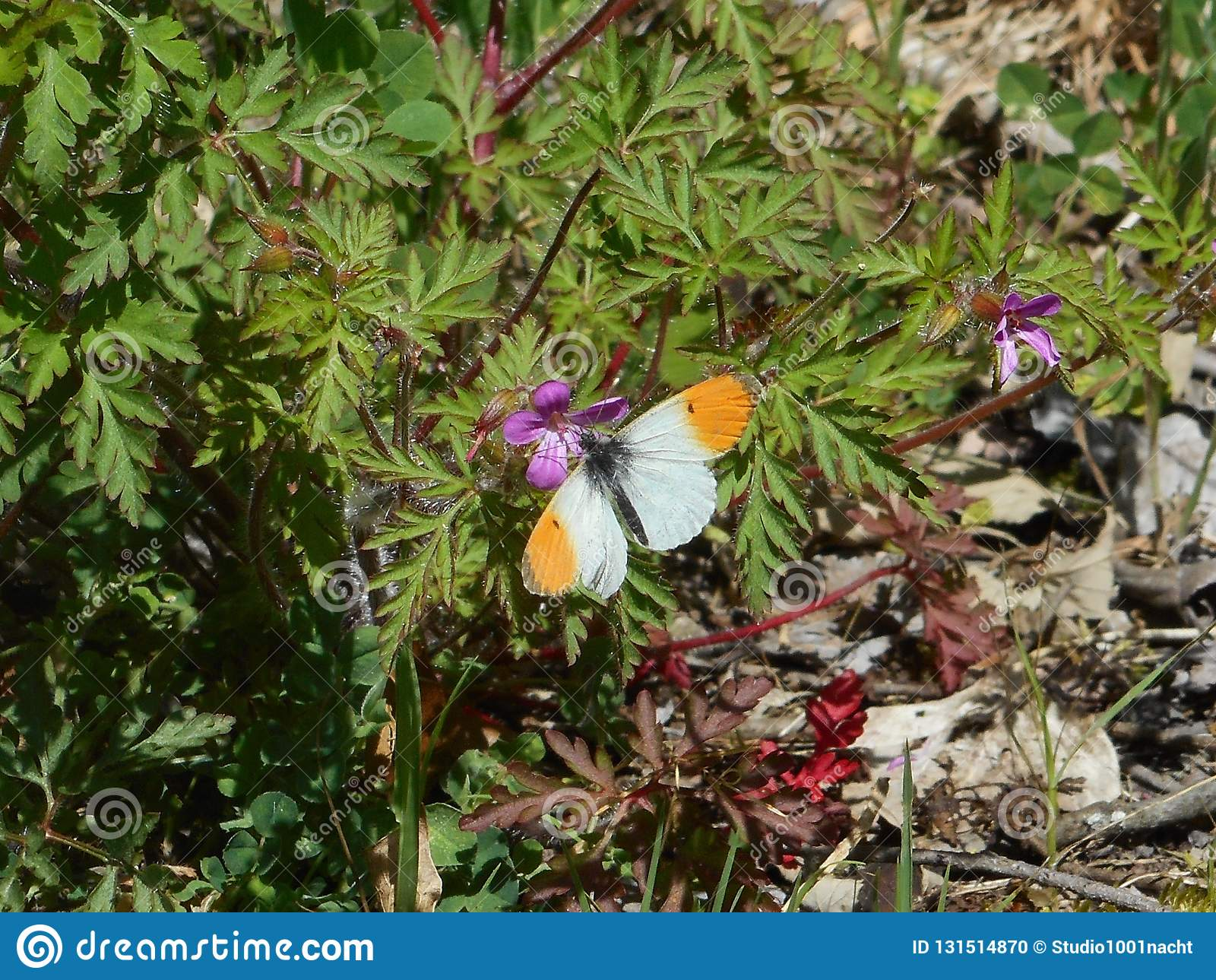 Orange tip butterfly in the moutains