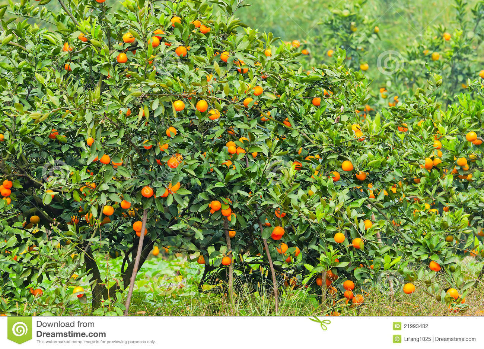 Orange Tree Stock Photography - Image: 21993482
