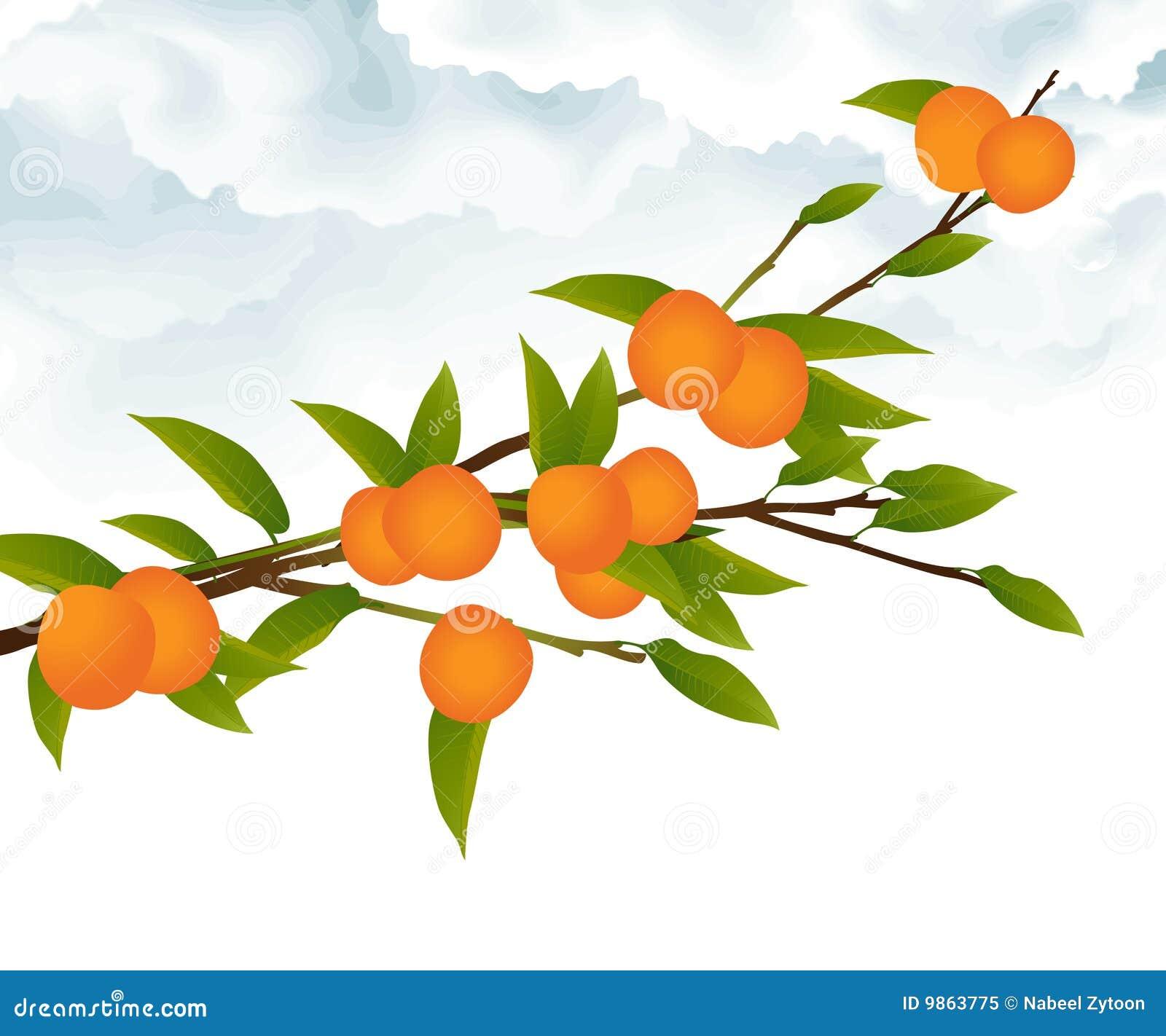 Orange tree branch stock vector. Illustration of green ...