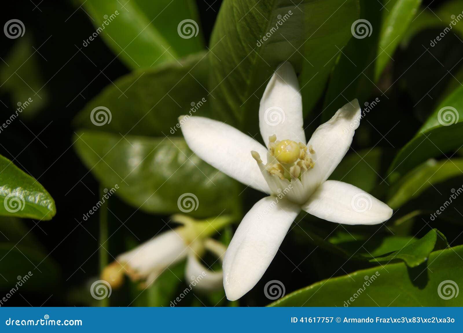 Orange tree flower - Citrus x sinensis