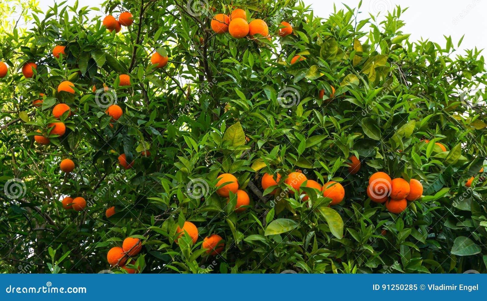 Orange Tree. Fruit Of Garden Food Stock Image - Image of ...