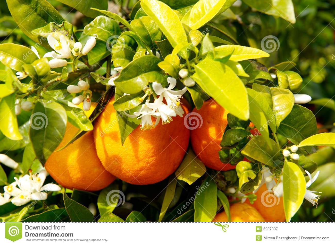 Orange Tree With Fruits And Flowers Stock Image Image