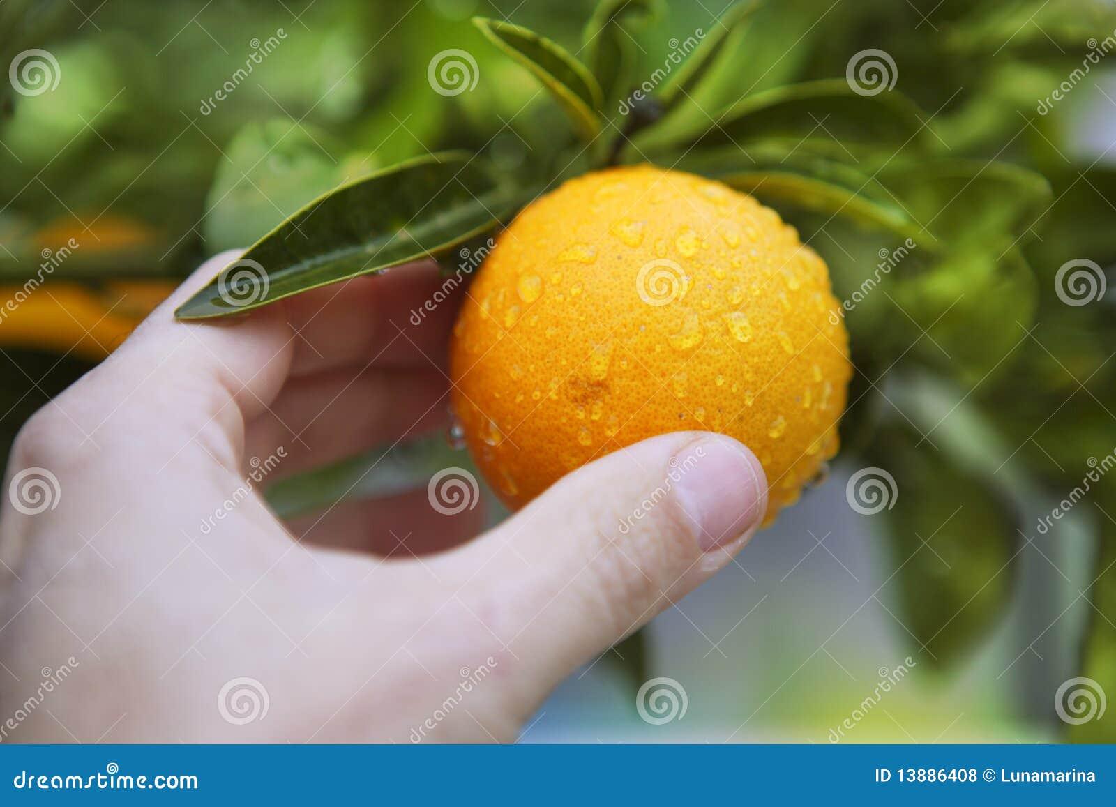Orange On Tree Human Hand Holding Fruit Stock Photo ...