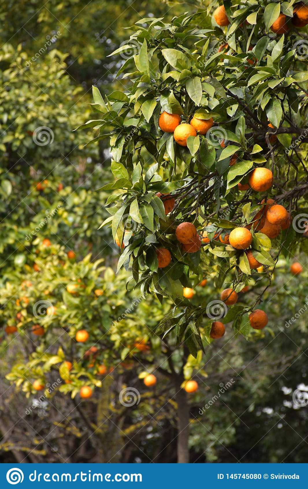 Orange trees at spring in Italy