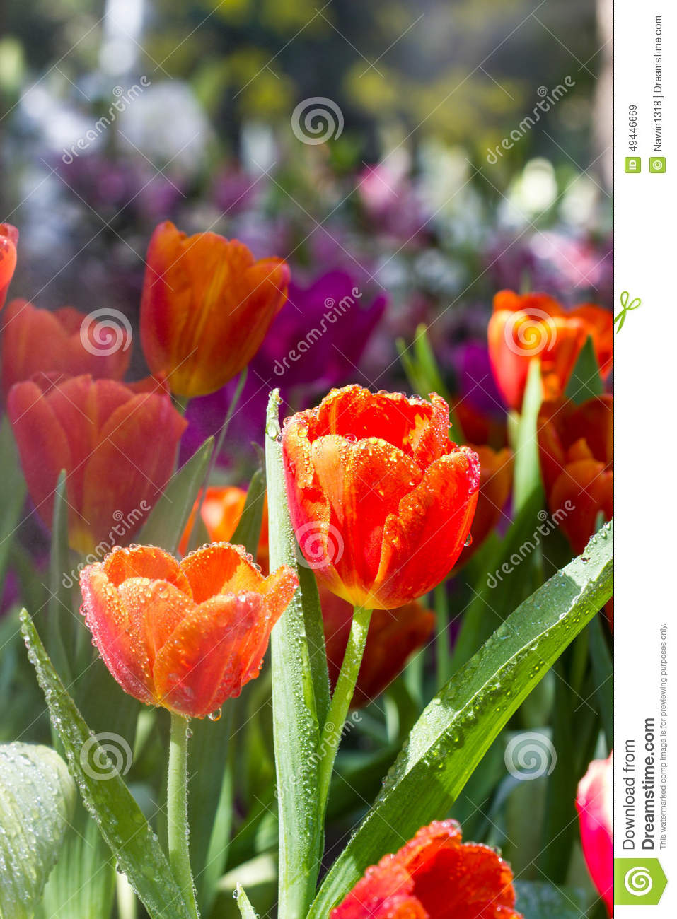 tulip festival bloom map with Stock Photo Orange Tulip Flower Festival Chiangrai Thailand Image49446669 on Tulips Galore And More At The Skagit Valley Tulip Festival In Skagit Valley Washington as well Stock Photo Orange Tulip Flower Festival Chiangrai Thailand Image49446669 also 8693271456 furthermore Saratoga State Park Map besides Skagit Valley Tulip Festival Guide With Kids.
