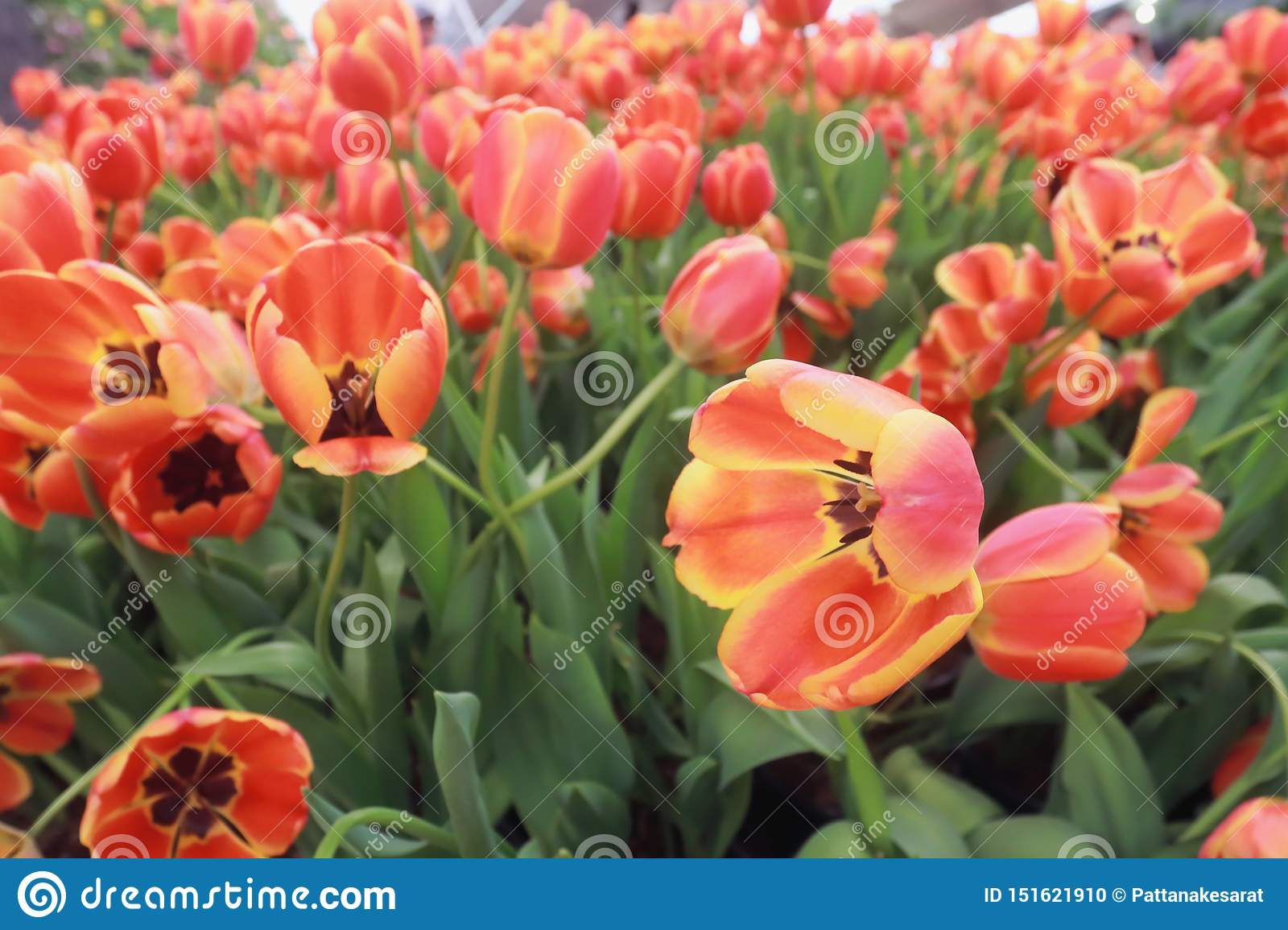 Tulips are blooming in the garden