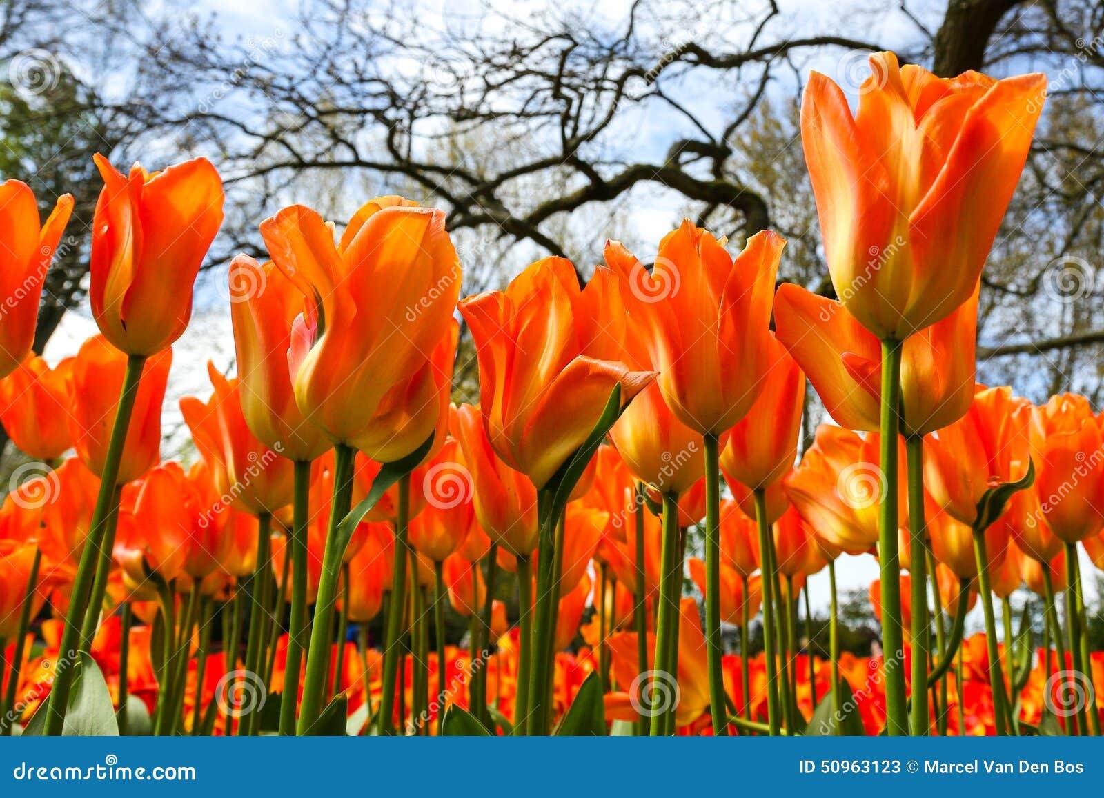 Orange tulips in flower garden