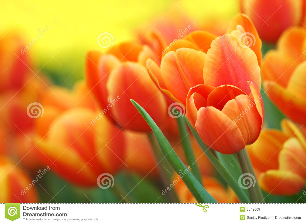 orange tulpen im garten stockbild bild von sonnenschein 6042009. Black Bedroom Furniture Sets. Home Design Ideas