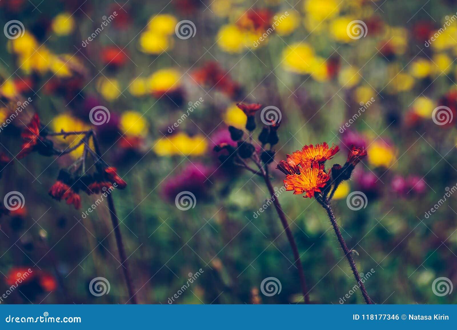 Orange vildblomma som står ut i ett suddigt fält av lösa blommor