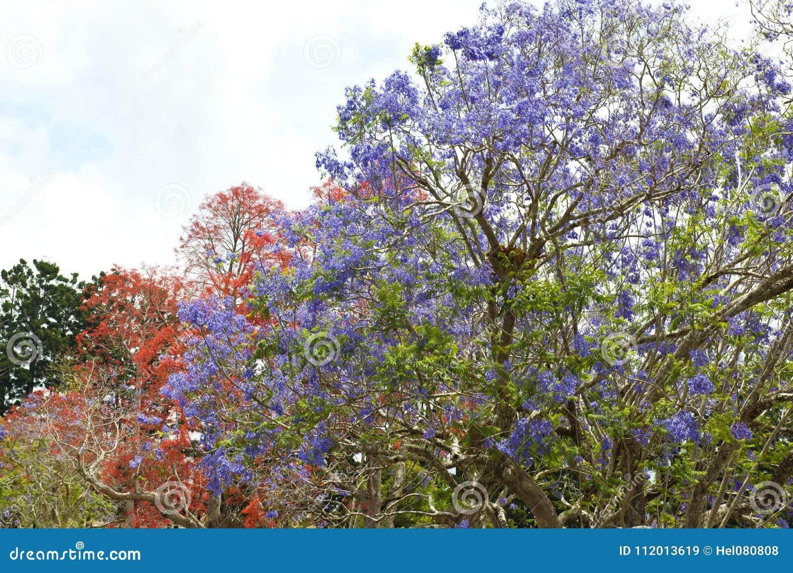Orange And Violet Flowering Trees Jacaranda Tree Stock Image