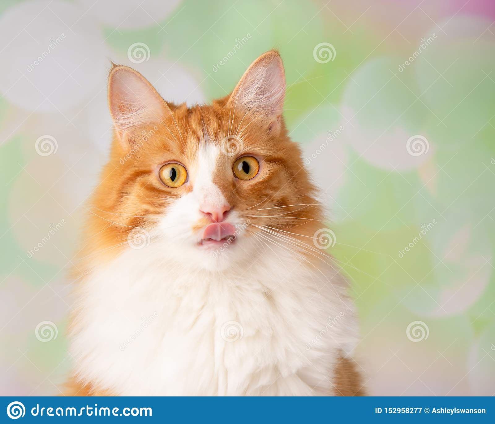 Orange And White Cat Close Up Face With Tongue Stick Out ...