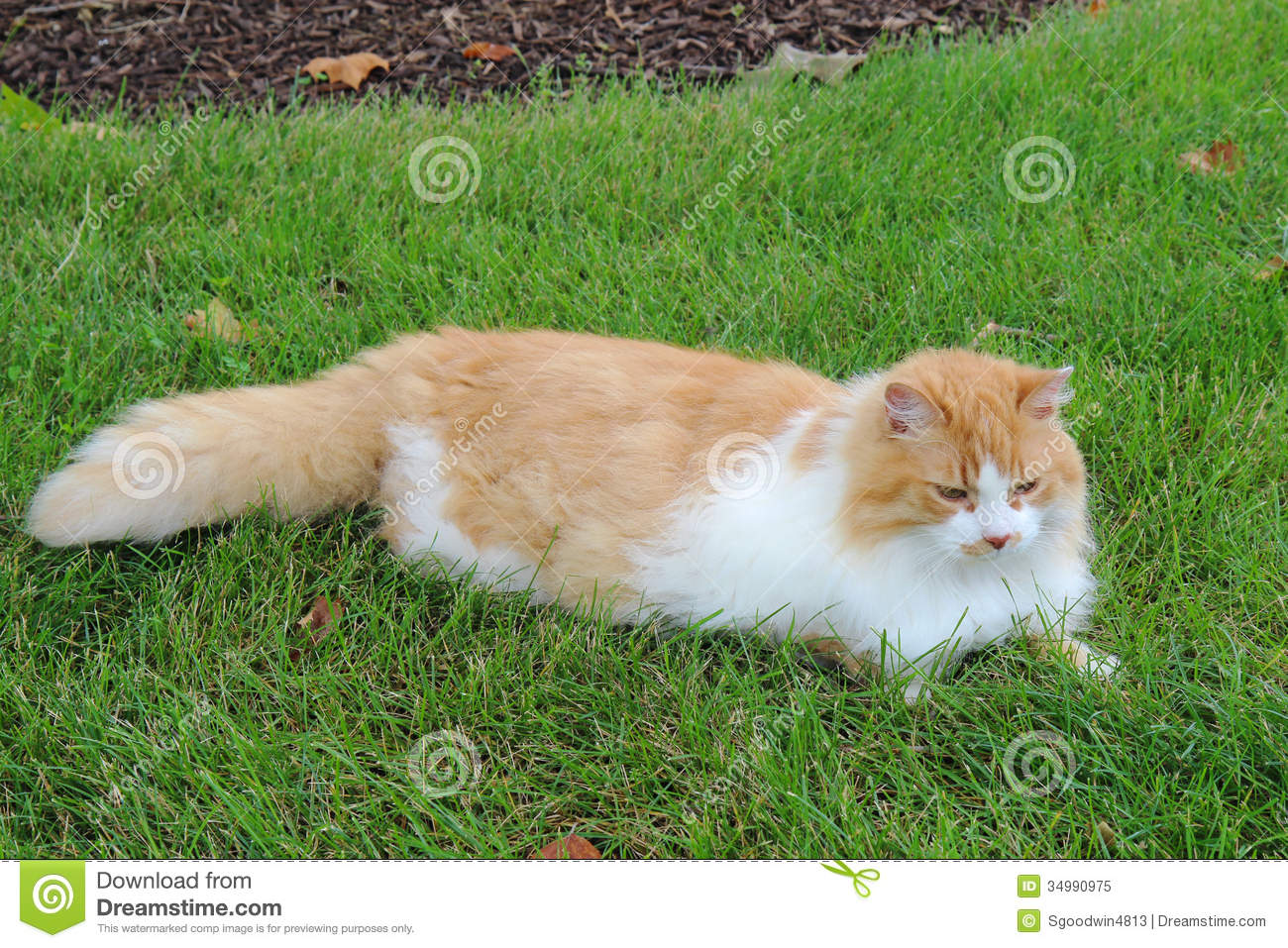 Long Hair Cat With Orange And White Fur
