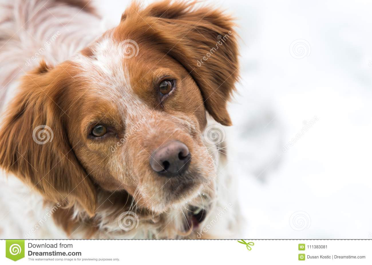 Orange And White French Brittany Spaniel Stock Image Image Of White Friend 111383081