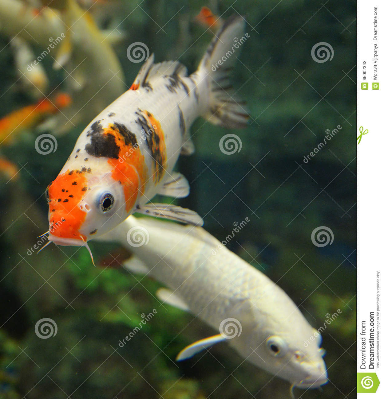 Orange white koi carp stock image image of pond orange for Carp in a fish tank
