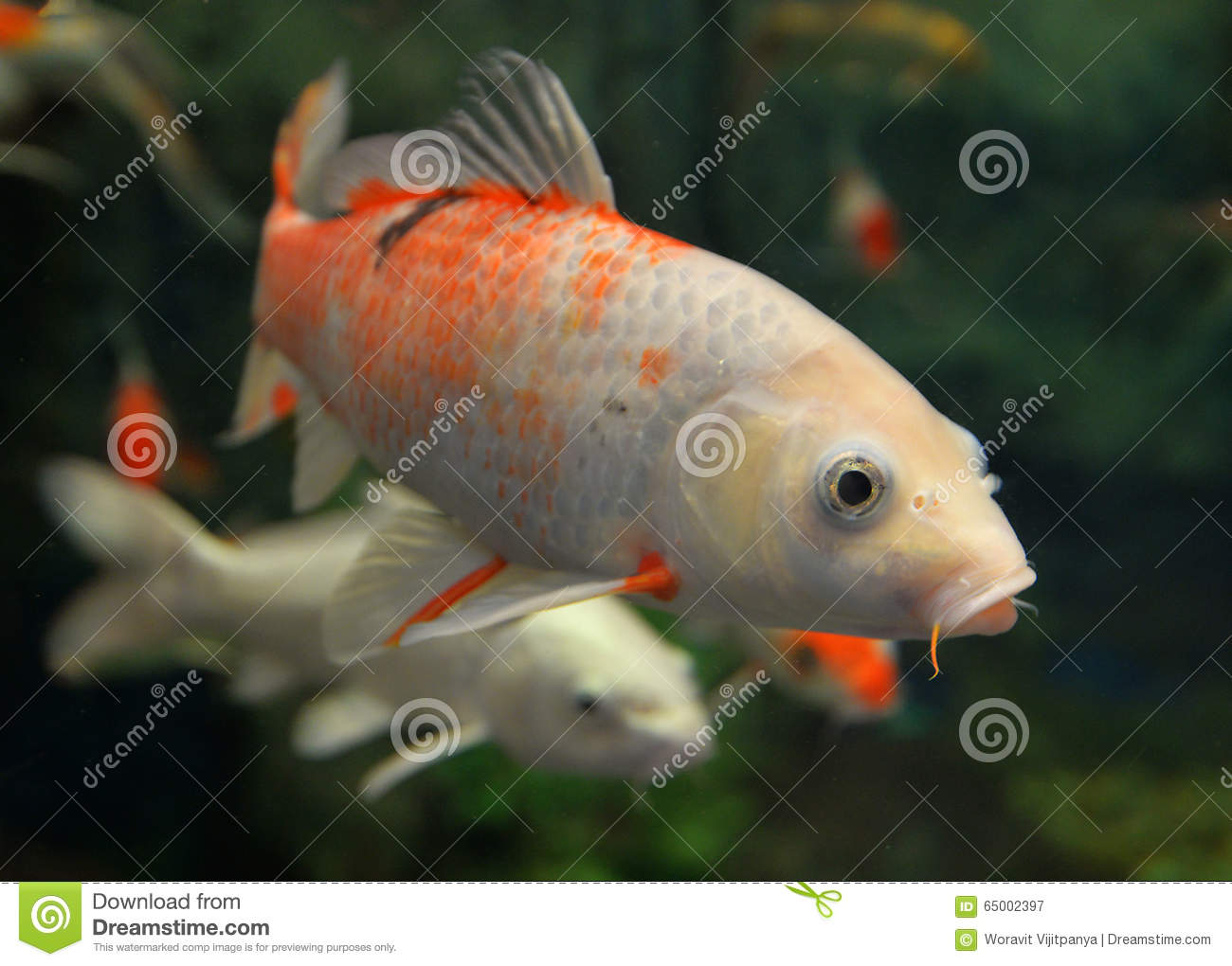 Orange white koi carp stock photo image 65002397 for Carp in a fish tank