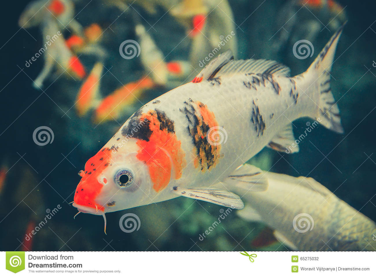 Orange white koi carp stock photo image 65275032 for Koi fish aquarium