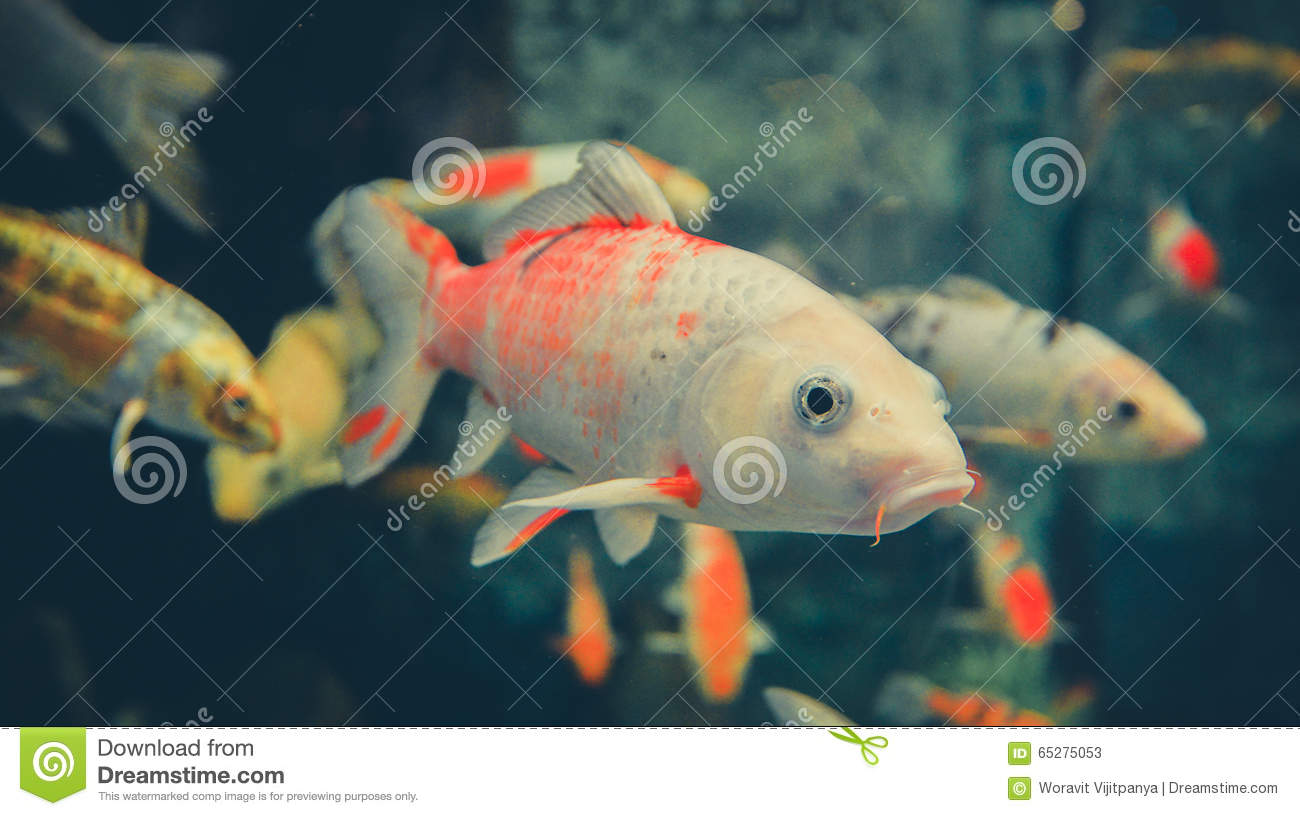 Orange white koi carp stock photo image 65275053 for Orange coy fish