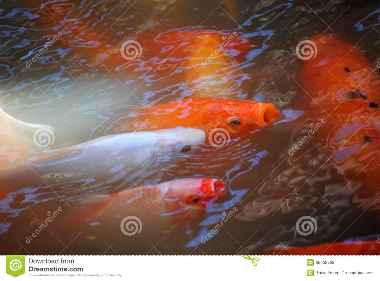 Orange and white koi fish stock image image of fish for Orange coy fish