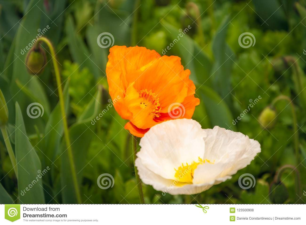 Orange and White Poppies at the Floriade in Canberra