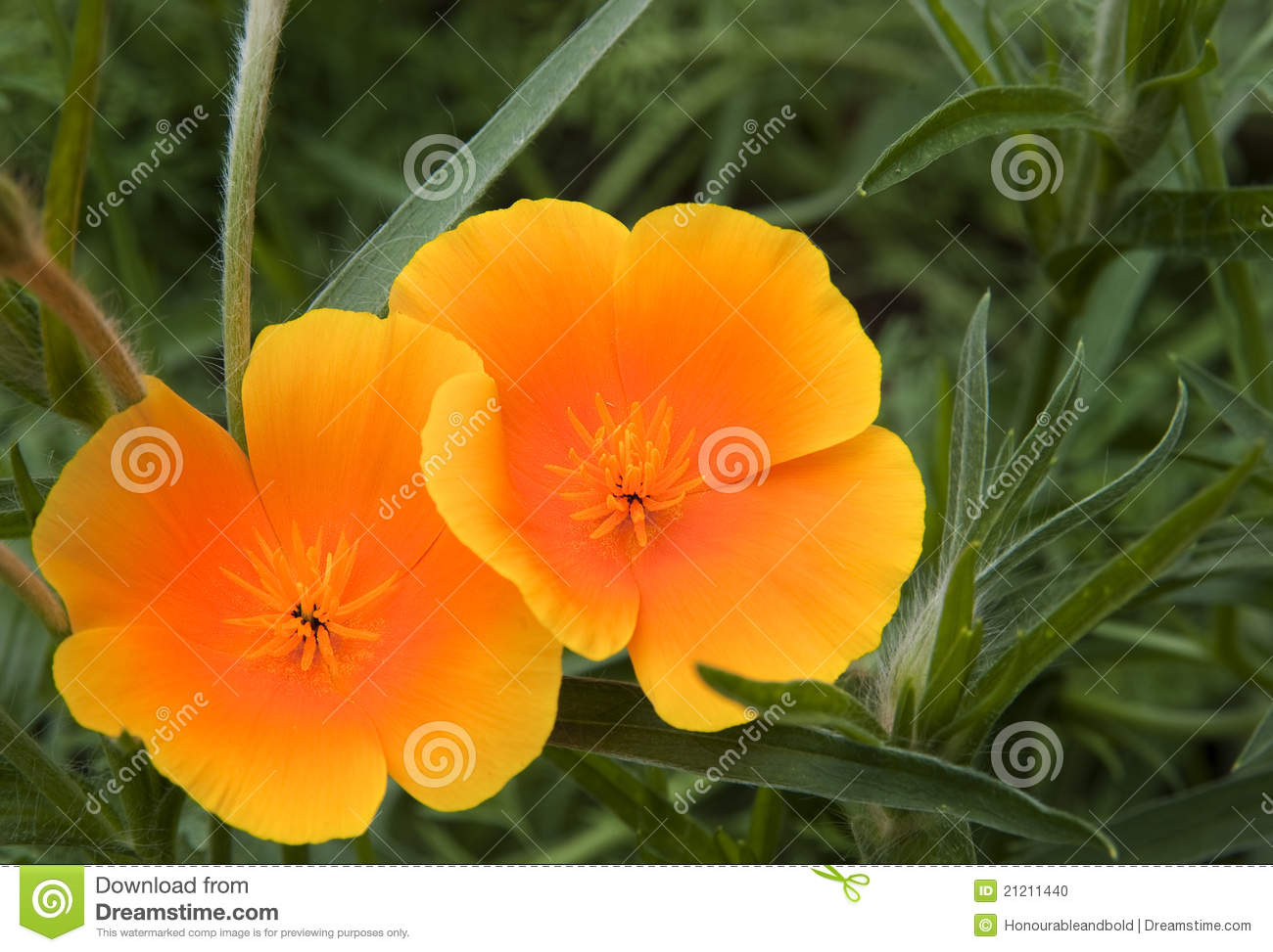 Orange Poppy Flowers Comousar
