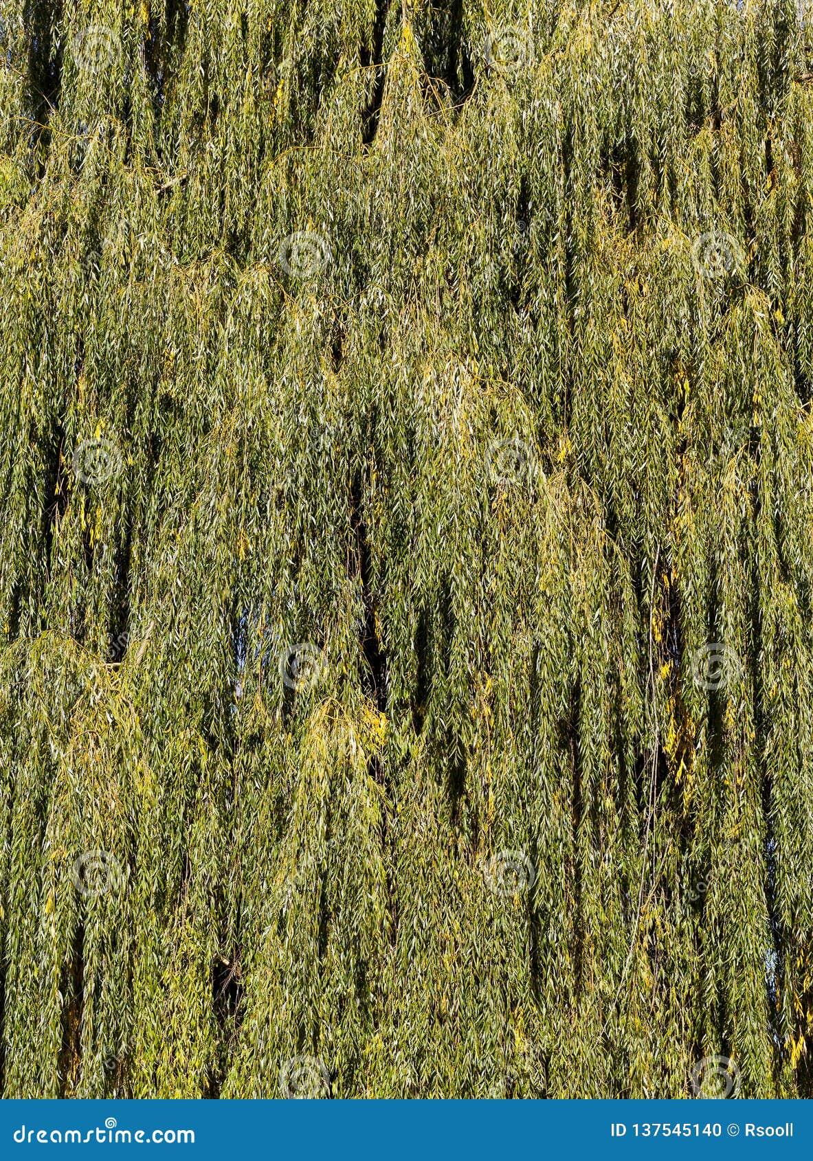 orange willow