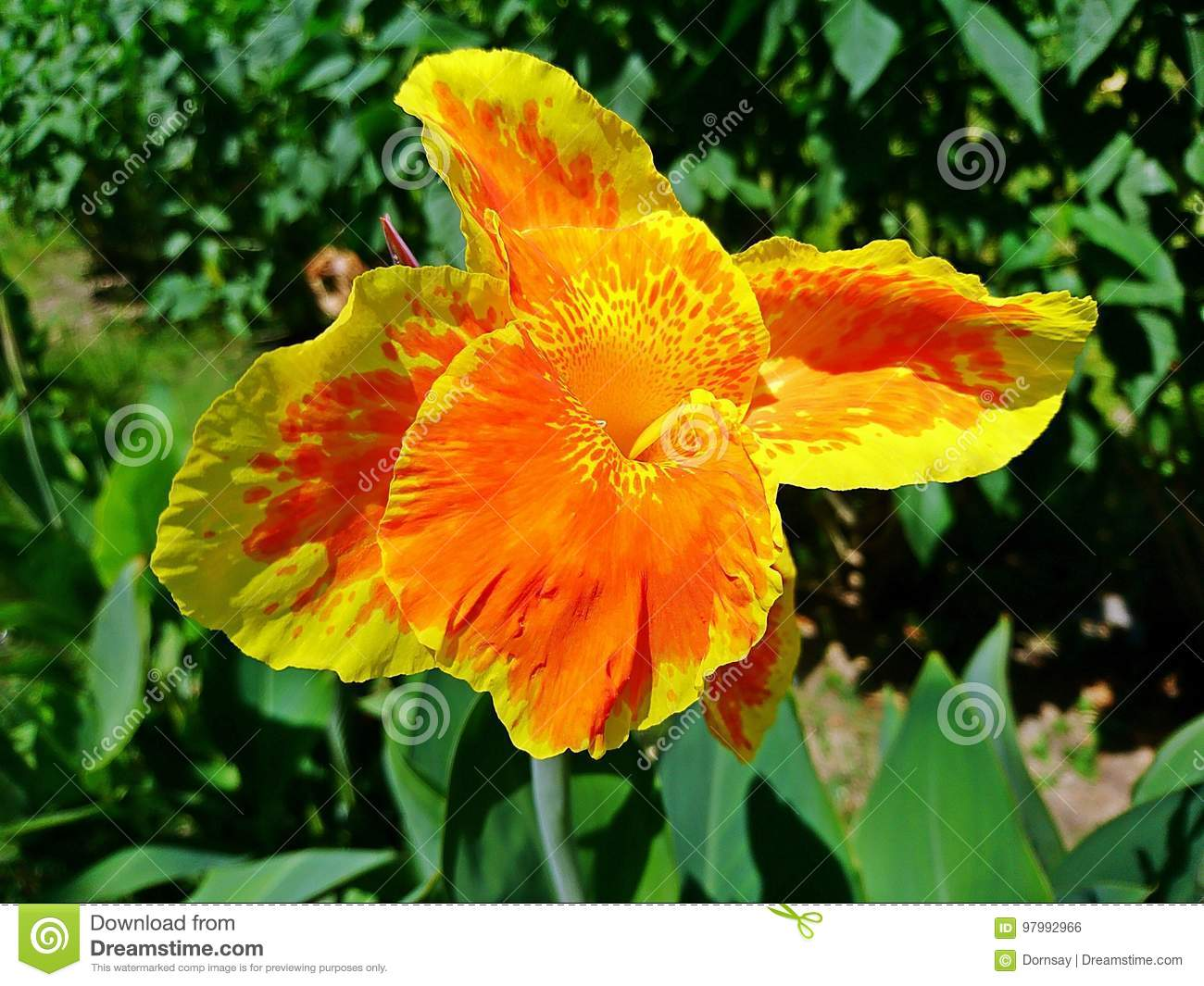 Orange And Yellow Canna Flowers Plants With Green Leaves Stock Photo