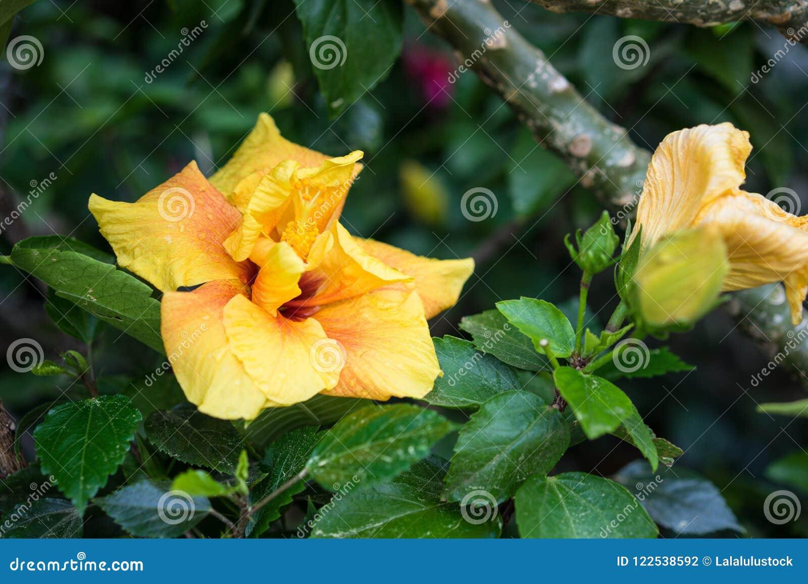 Orange Yellow Flower Bud Close Up With Small Rain Drops Stock Photo