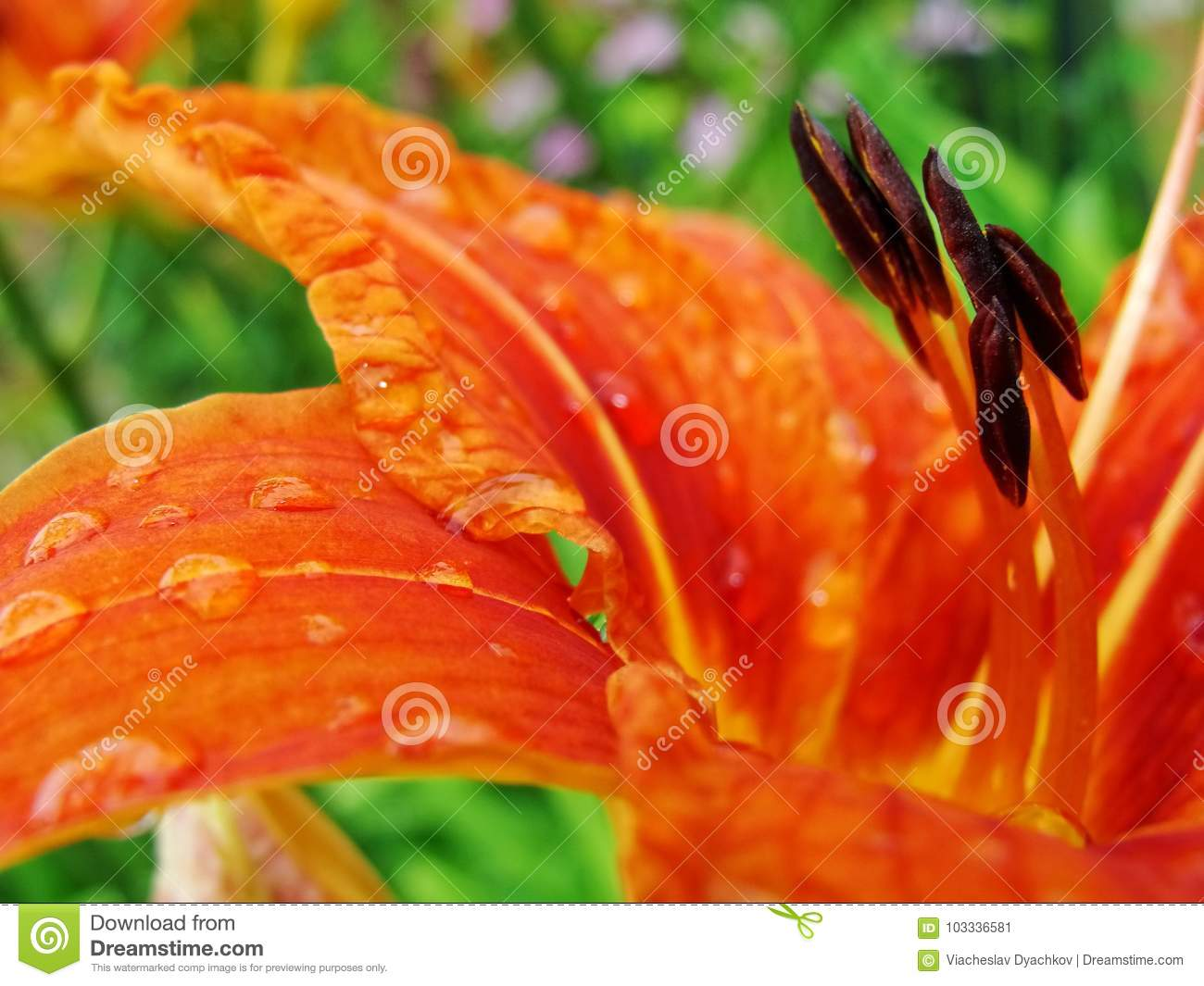 Macro of red orange flower with pollen on anther stock image download macro of red orange flower with pollen on anther stock image image mightylinksfo