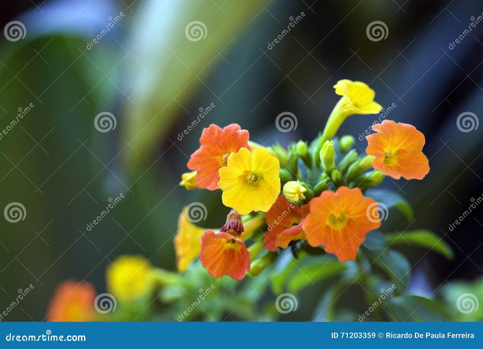 Orange And Yellow Flowers Of Marmalade Bush Stock Image Image Of