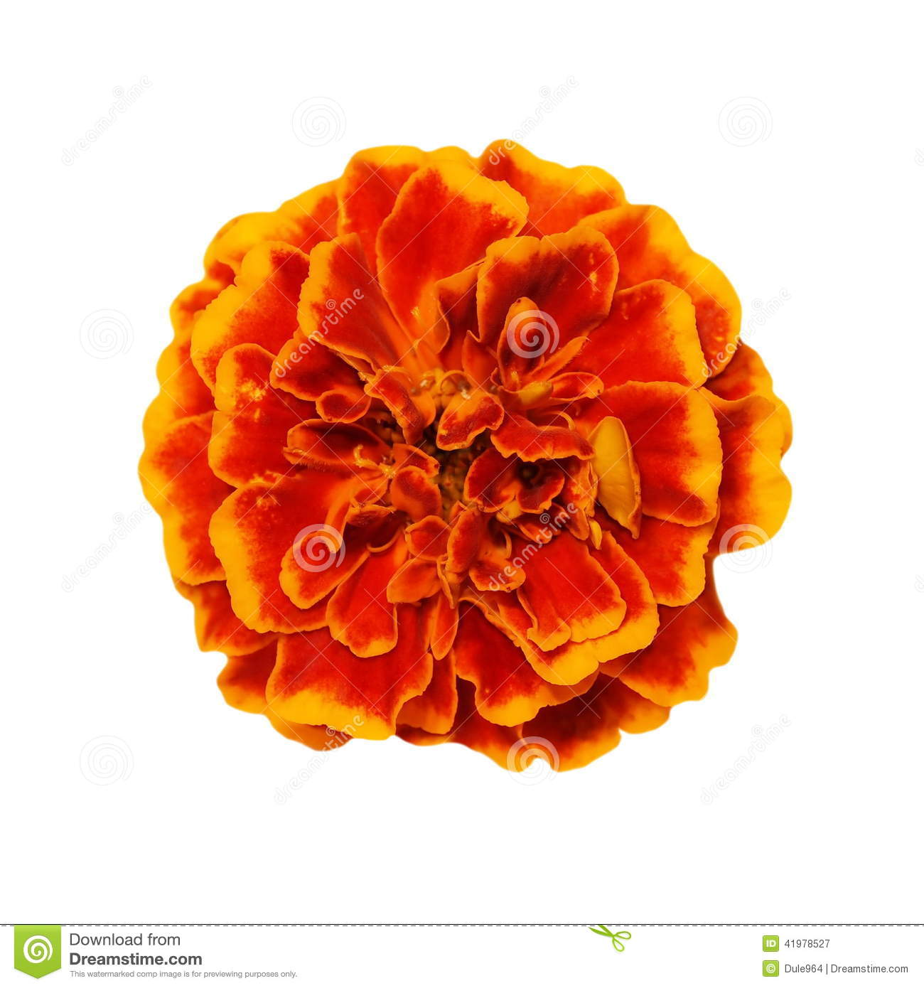 Orange Yellow Marigold Flower Isolated White Background Calendula ficin