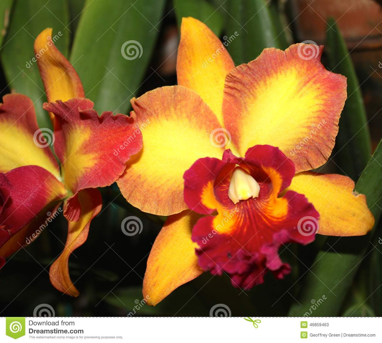 Orange And Yellow Orchid Flower Stock Image Image Of Bright