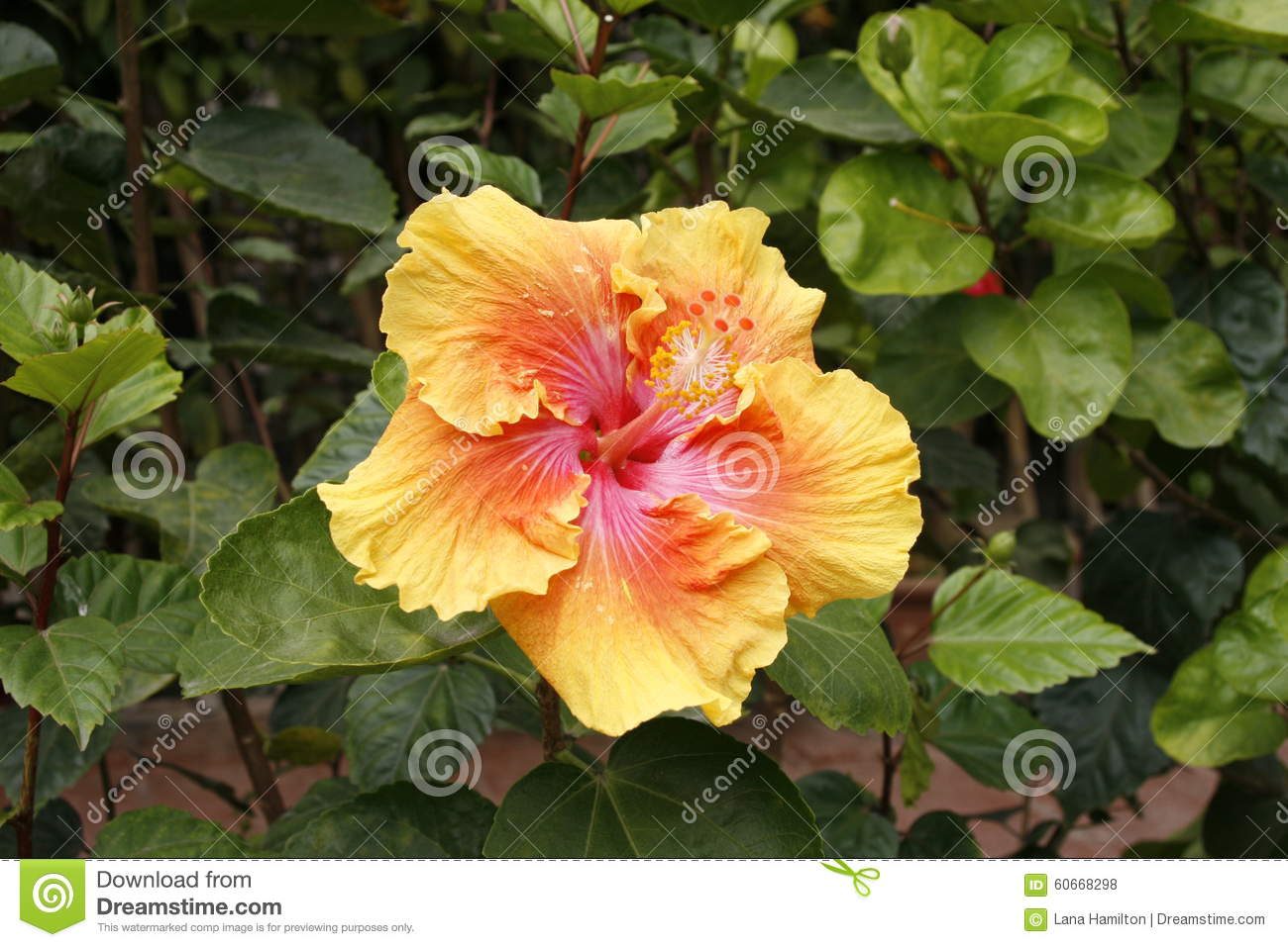 Hibiscus Are Very Beautiful With Yellow And Red 77