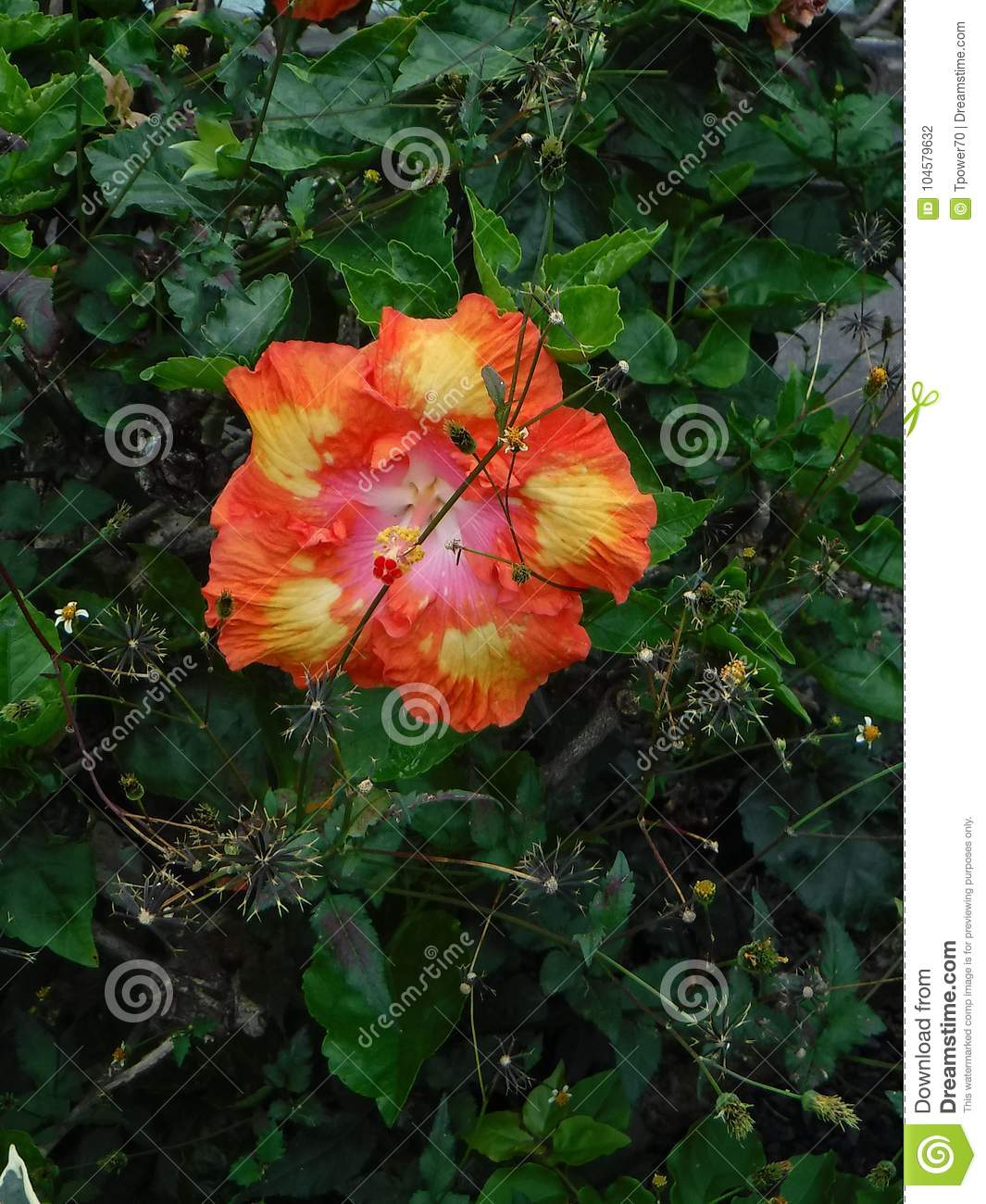 Orange yellow and pink hibiscus flower with white center stock orange yellow and pink hibiscus flower with white center mightylinksfo