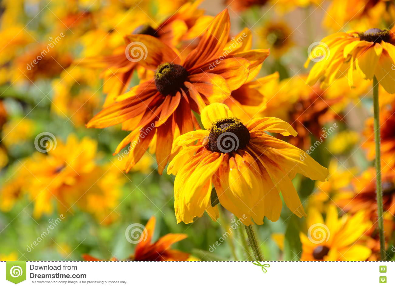 Orange Yellow And Red Flowers Stock Image Image Of Canada Flowers