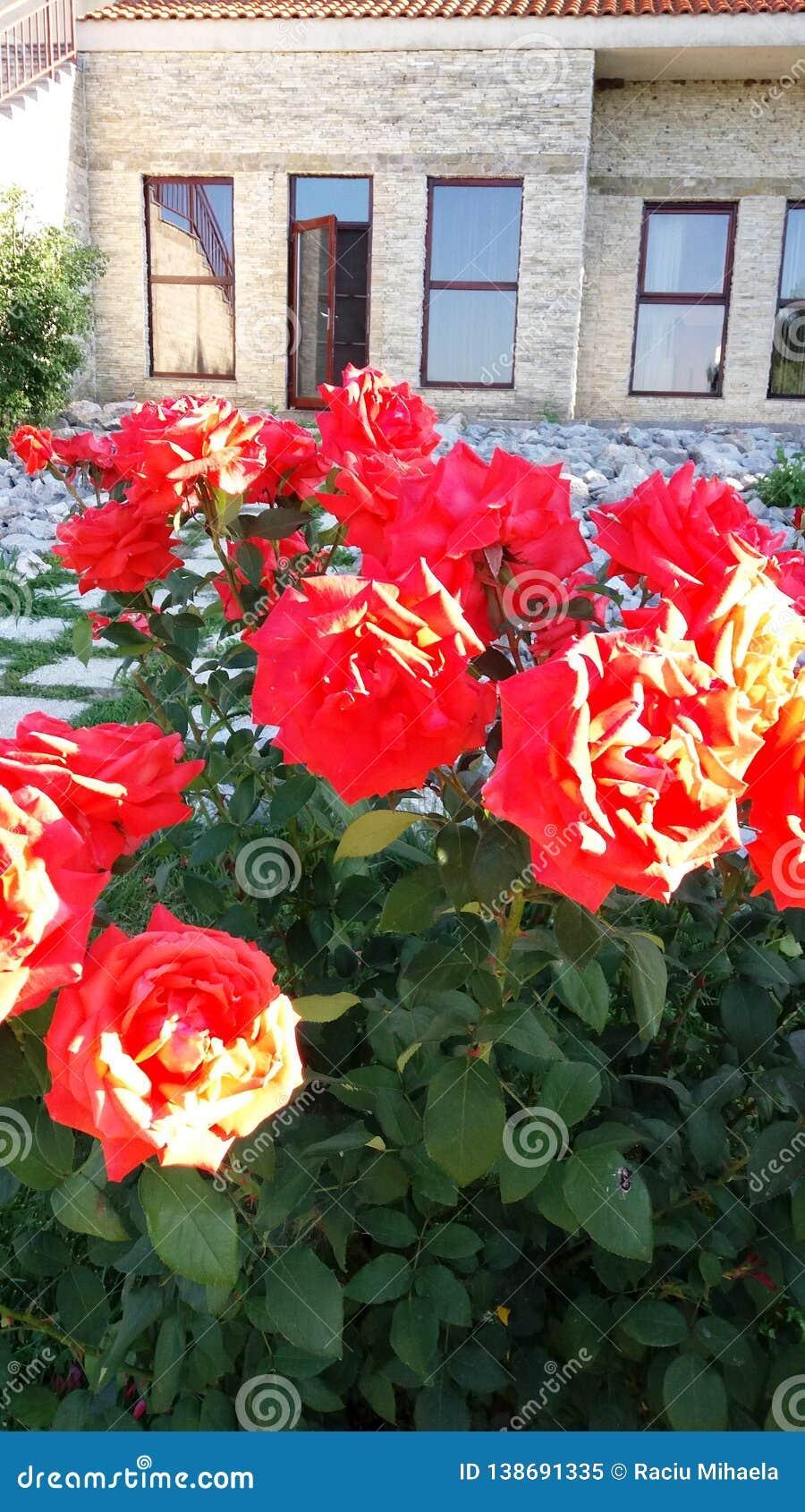 Orangen-/Aprikosen-Rosen mit Blättern